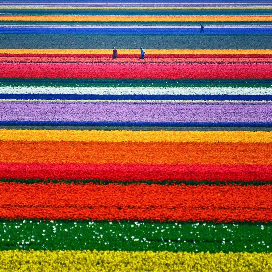 tulip-fields-holland